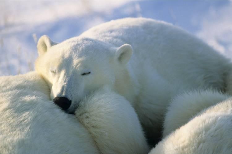 Polar bear nestled into another bear image