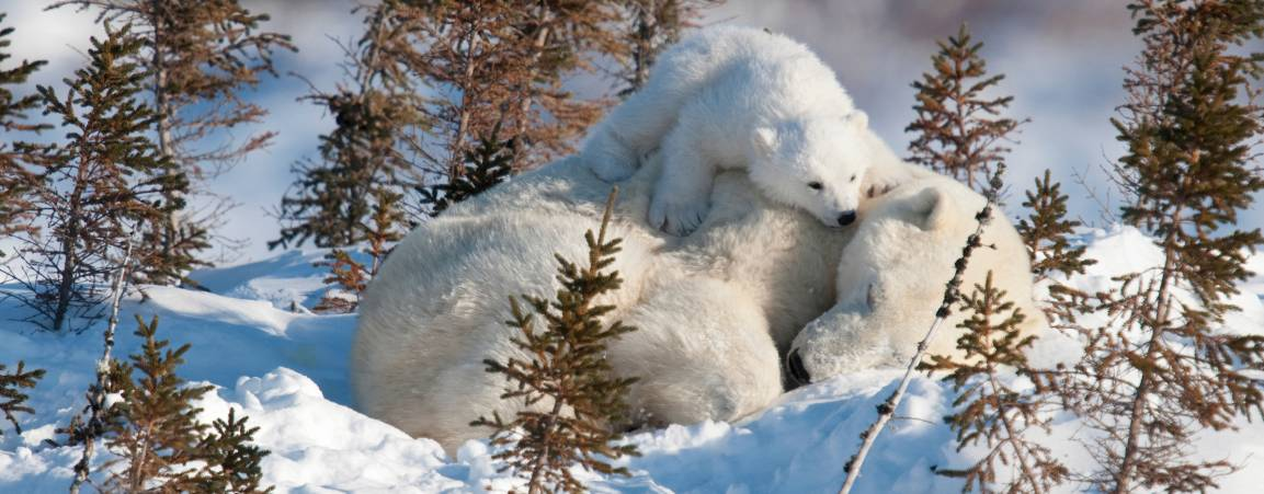 Mother bear and her cub laying down image