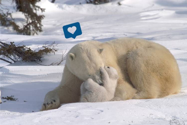 Polar bear mother and her cub with a heart social bubble over the mom's head image