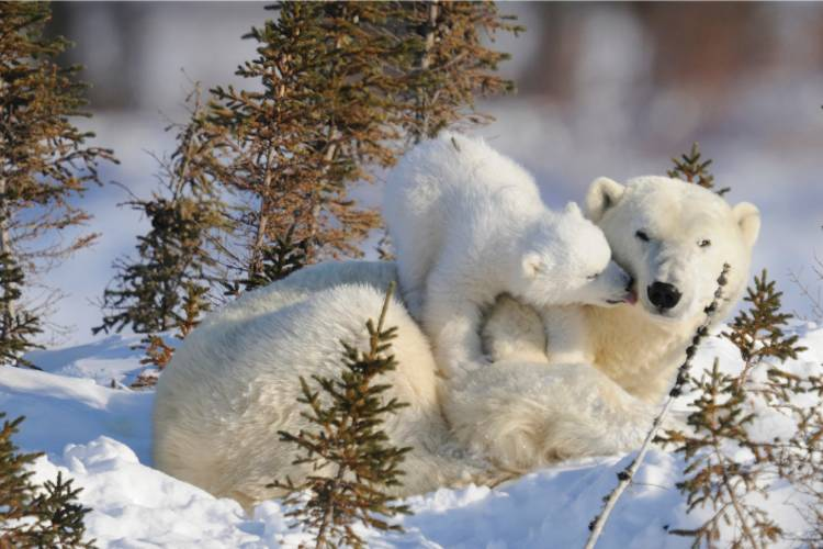 Cub climbs over mama bear to give her a kiss
