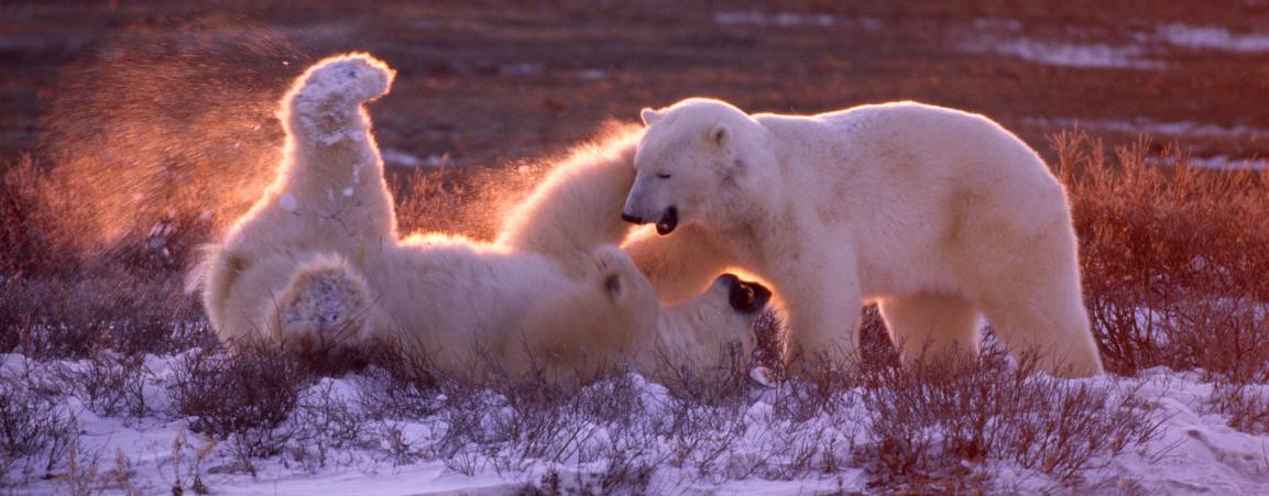 Two bears sparring