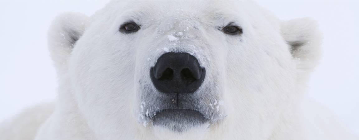 Close-up of polar bear face