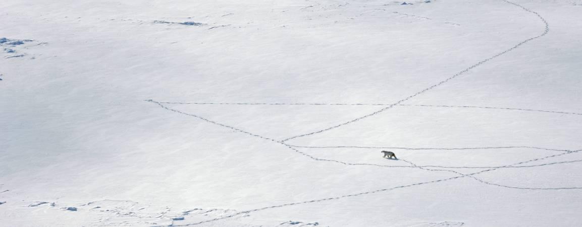 Bear and bear tracks on sea ice