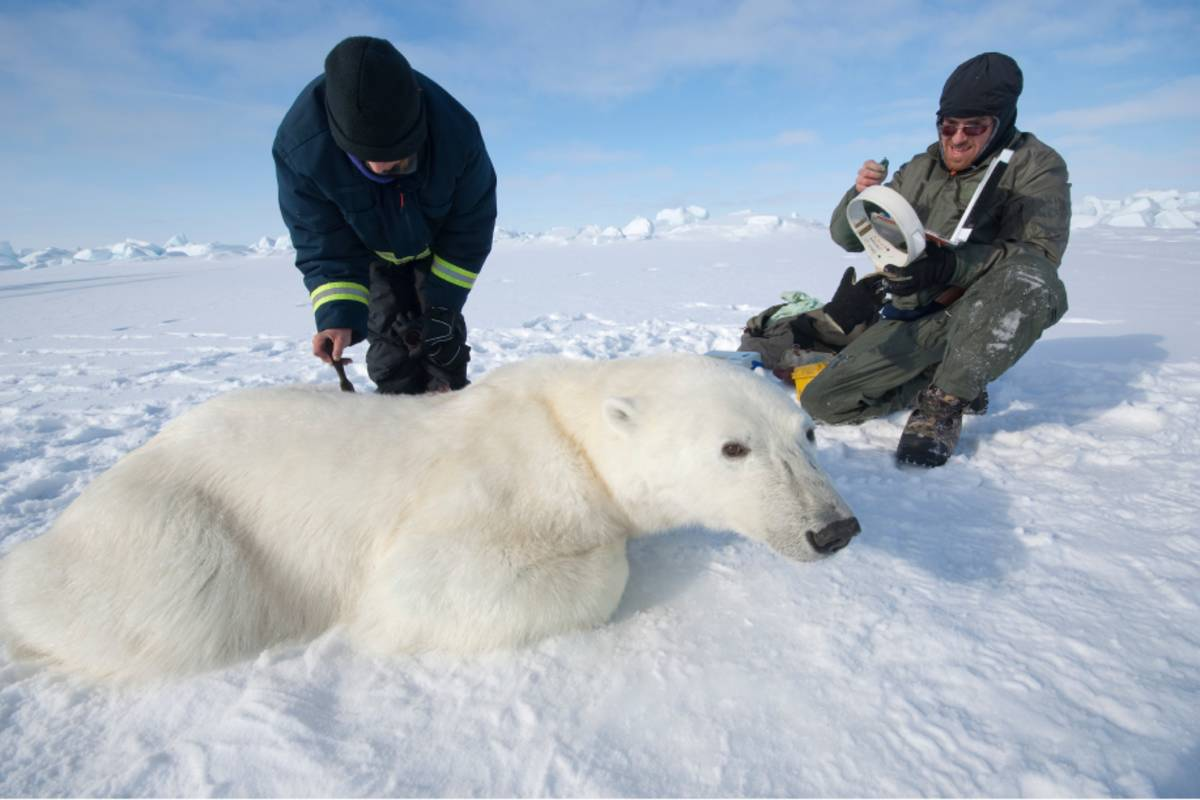 Researchers getting ready to put a collar on a polar bear