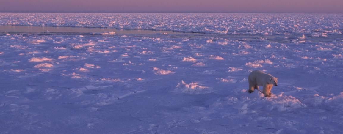A polar bear walking across snowy terrain at dusk with a purple sky