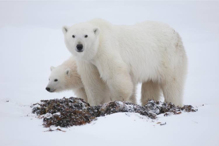 A mother polar bear staring at the camera with her cub beside her on land