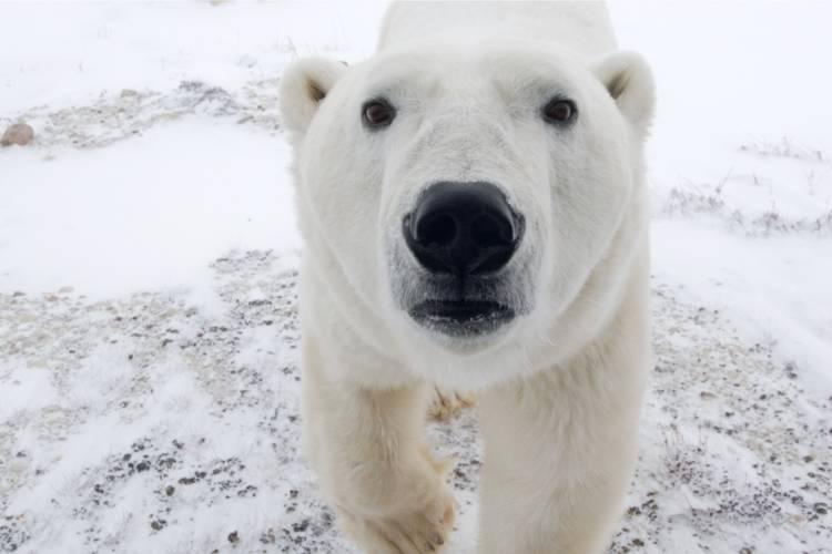 A close-up view of a polar bear,  staring directly at camera