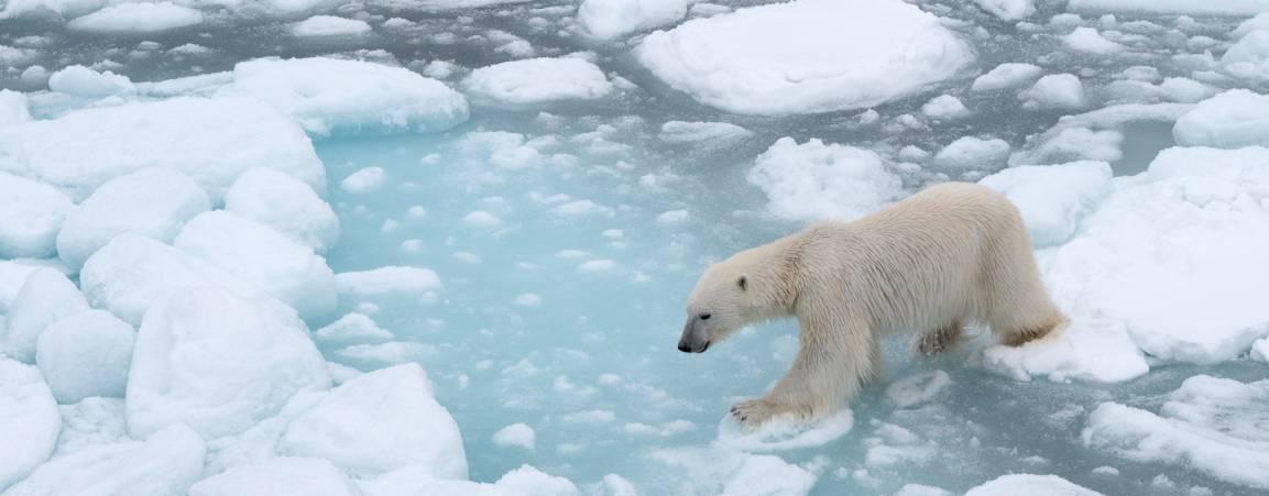 Bear on sea ice