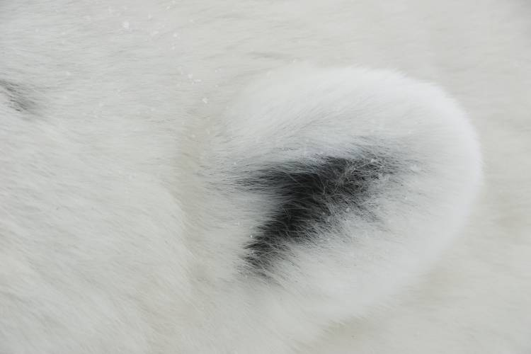 Polar bear ear