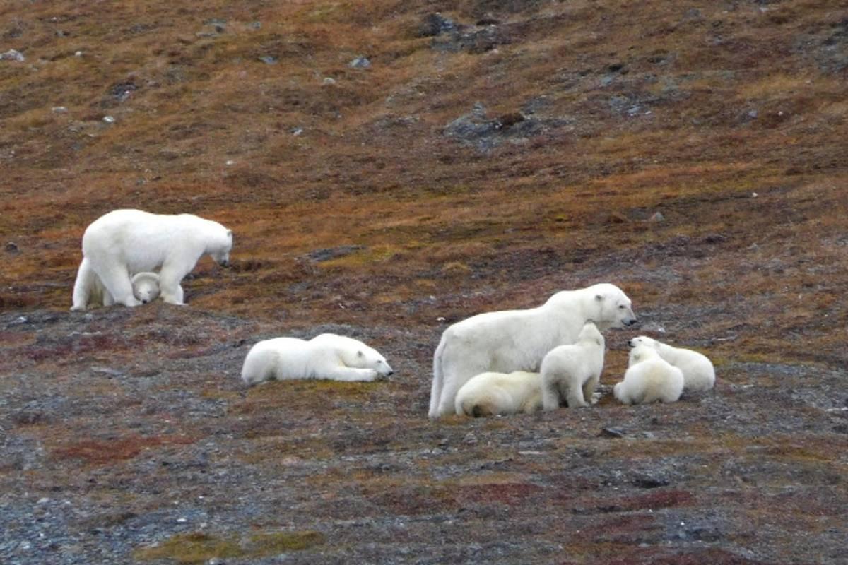 Two polar bear families rest on the autumn tundra on Wrangel Island.