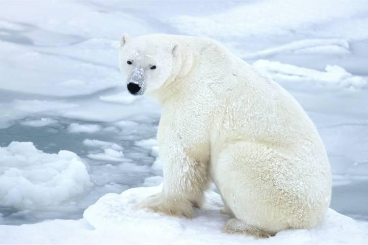 Polar bear sitting on ice image