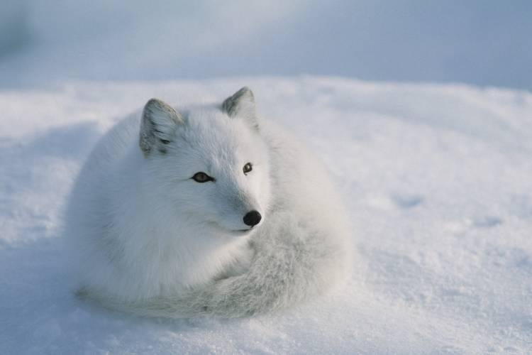 Arctic fox on the tundra