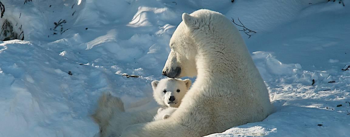 Polar bear mom and cubs outside the den in Wapusk National Park