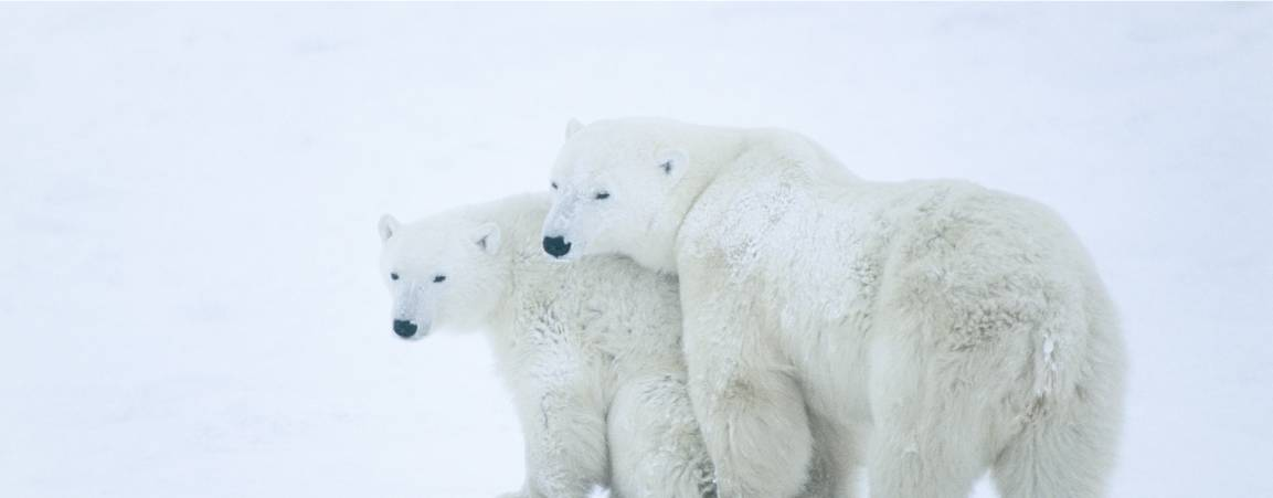 Two adult polar bears standing close to each other