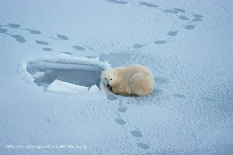 A polar bear nestled into a spot on the ice near open sea ice