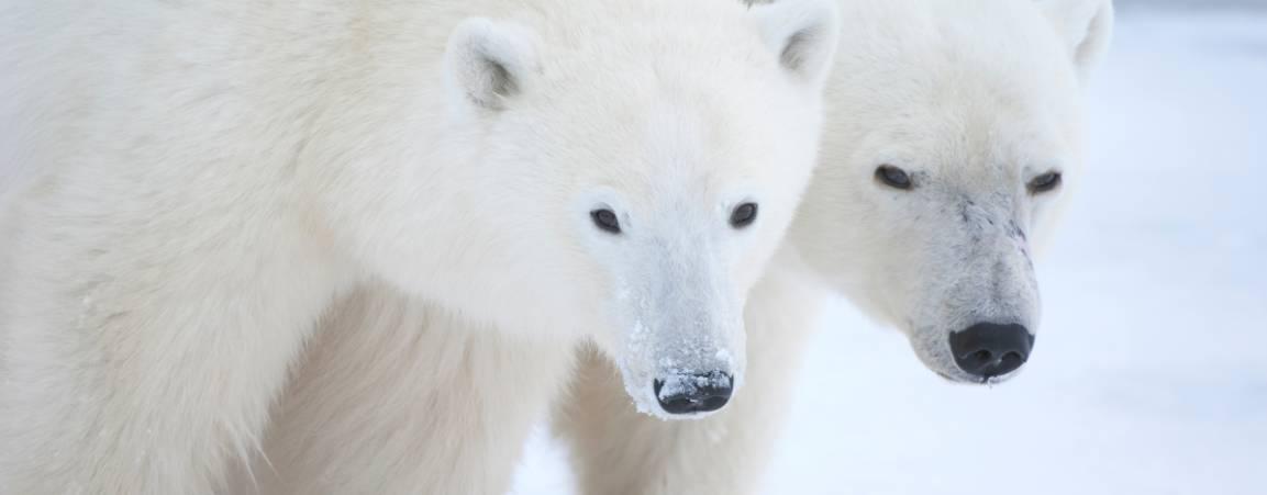 Two polar bears looking at the camera