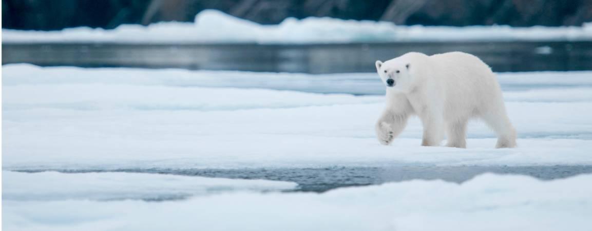 Polar Bear walking across ice with it's right paw raised