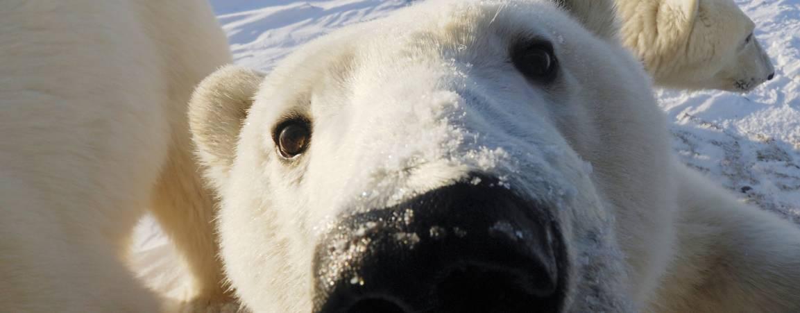 Polar bear faces