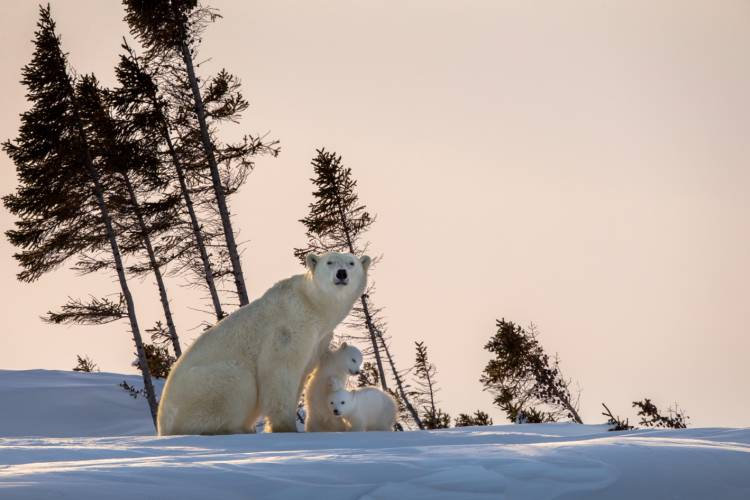 Mama bear with her two cubs sitting on snow with a pink sky background