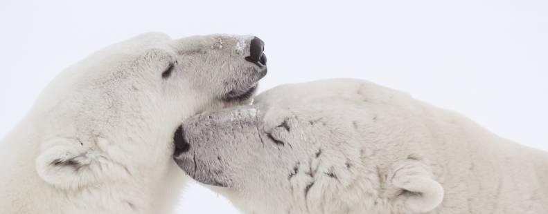 Polar bears nustling each other image