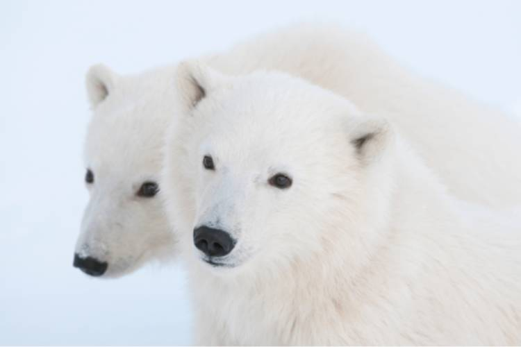 Two polar bears nestled closely together