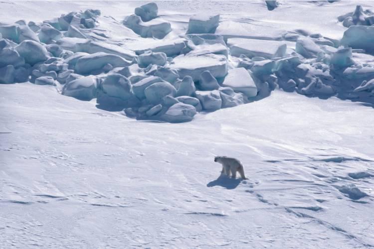 Aerial shot of a polar bear walking on ice
