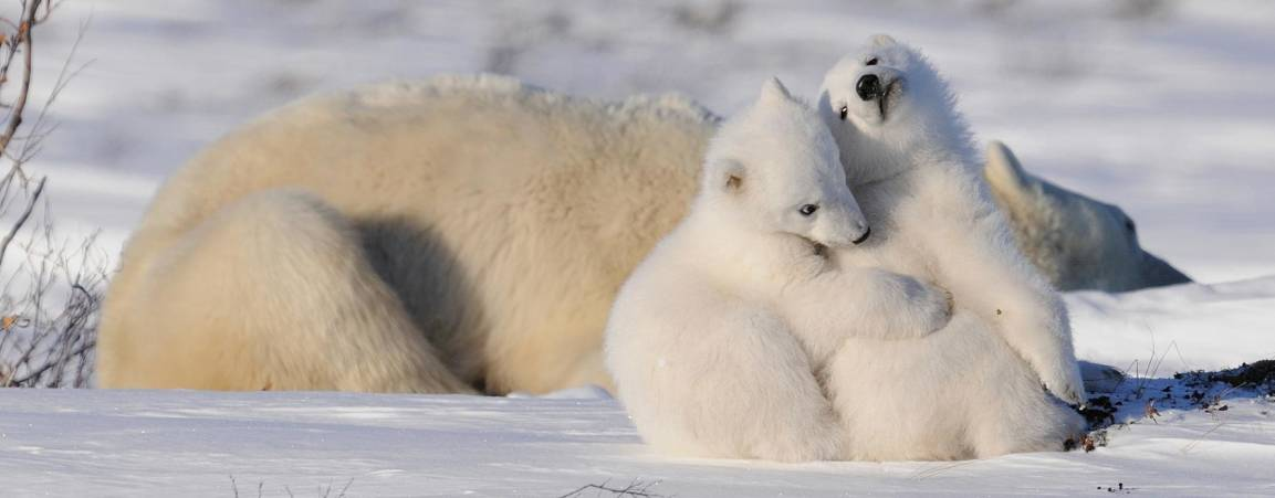 Two polar bear cubs cuddling in the forefront, with a polar bear mother laying in the snow resting in the background.