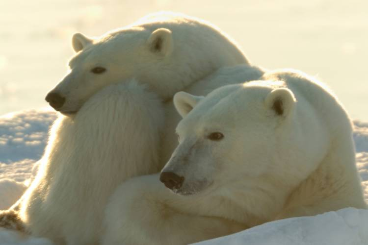Two polar bears nestled in the snow