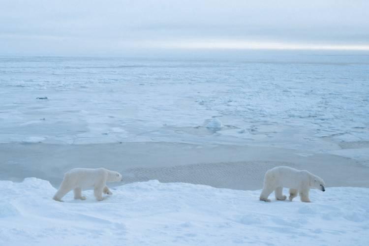 Two polar bears traveling along the sea ice