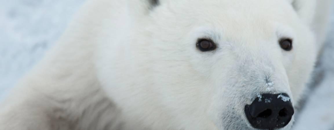 Close up of a polar bear