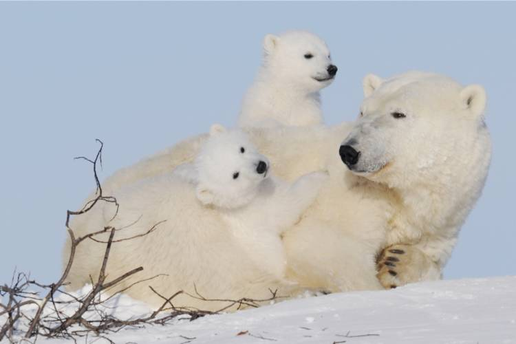 Two polar bear cubs climbing on their mother