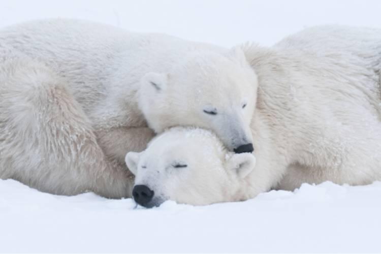 A polar bear resting on another polar bear