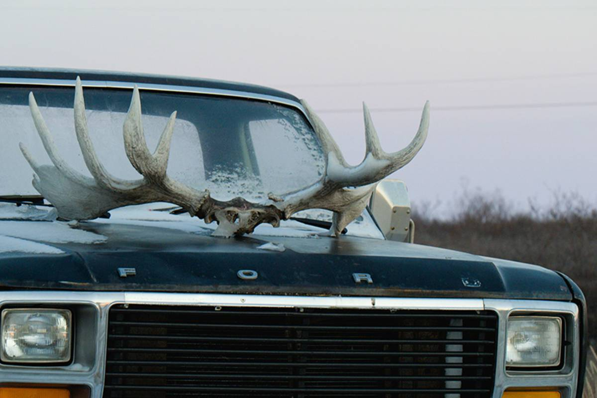 A truck with cariboo antlers on the hood