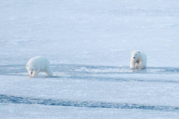 Two polar bear cubs walking along the arctic sea ice