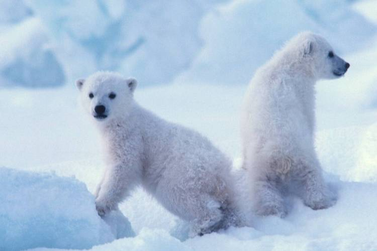 Two polar bear cubs propped up in the snow