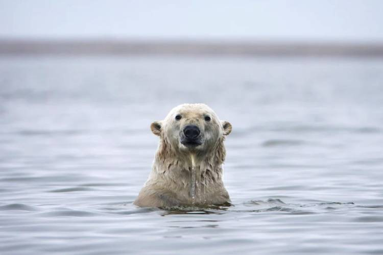 A polar bear poking it's head above the water