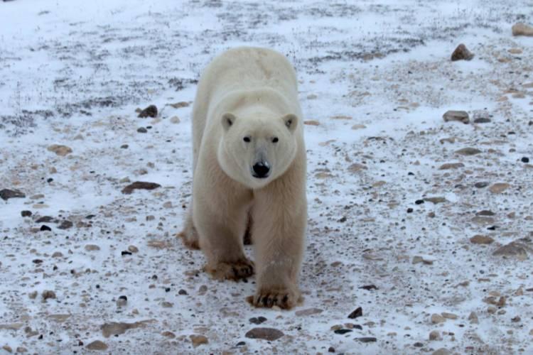 Polar bear walking looking up