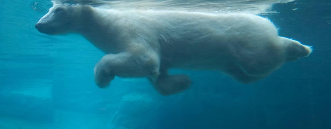 Bear swimming in pool