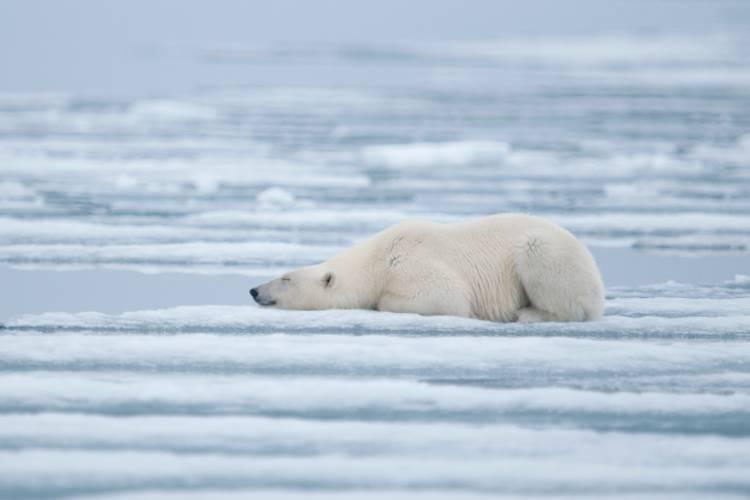 Polar bear laying on ice image