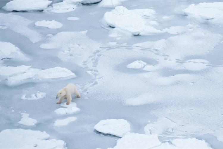 Polar bear traveling across ice image