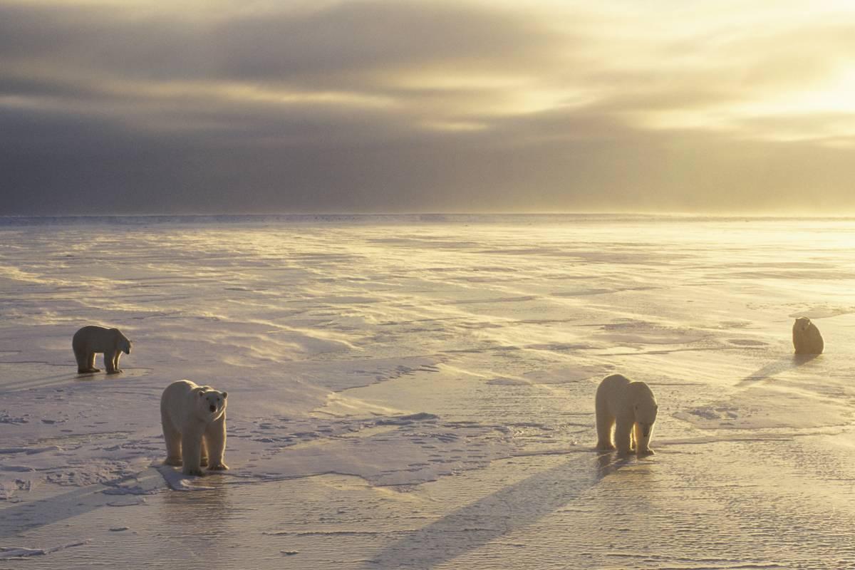 A group of four polar bears lit by the golden sun.