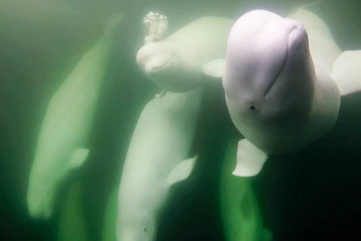 Underwater shot of beluga whales