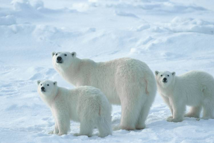 Mother bear and her two cubs looking at the camera