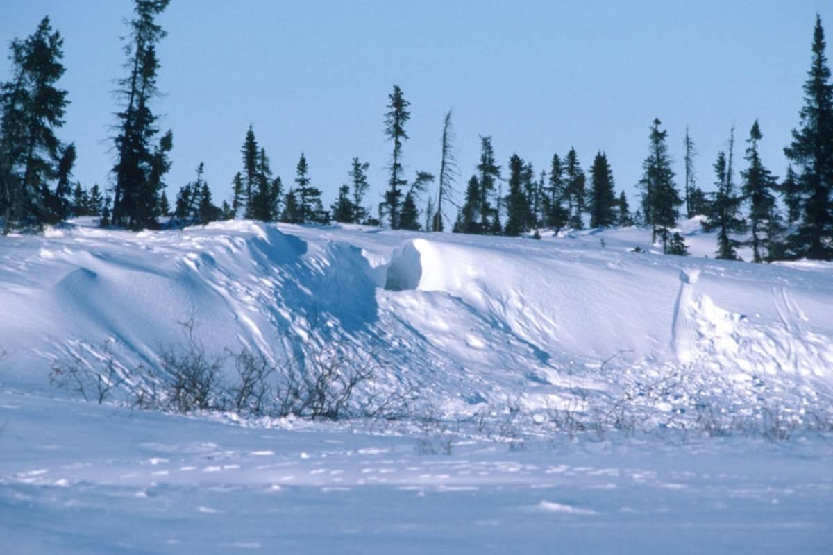 Polar bear den in the Arctic
