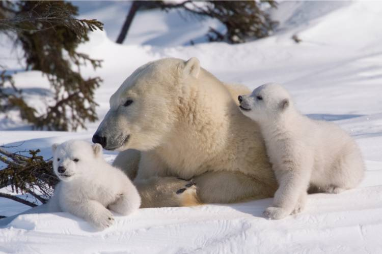 Mother bear and her two cubs cuddled up to one another