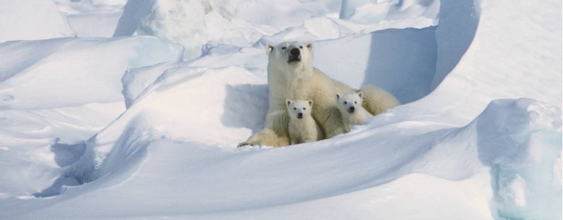 A mother bear and her two cubs peeking out of a snowdrift