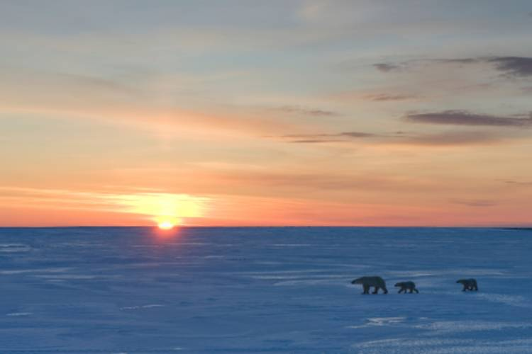 Three polar bears traveling across the tundra as the sun goes down