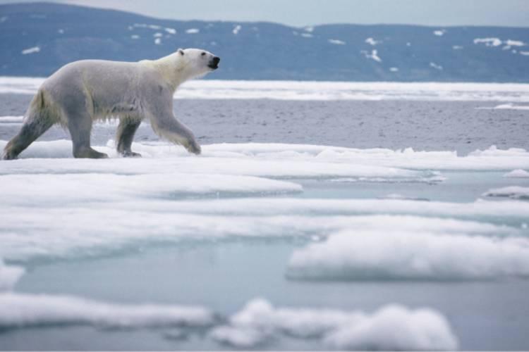 Polar bear walking across the ice image