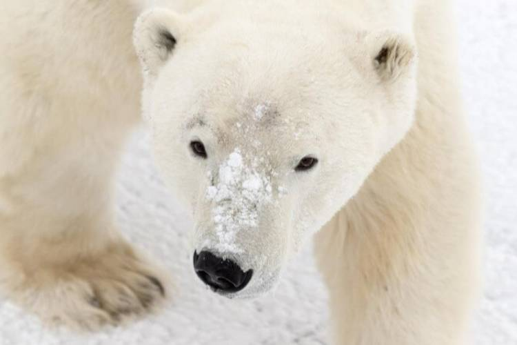 Close up of a polar bear with snow on its nose