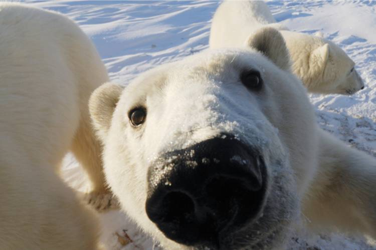 Close-up of polar bear face with bears in background image